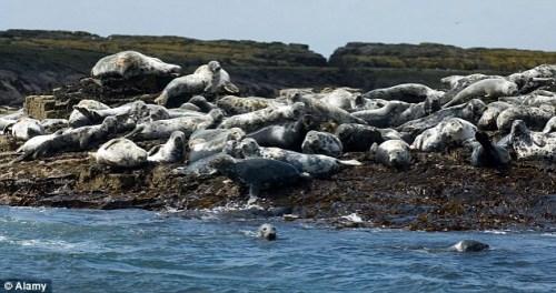 英海岸数十只海豹去世均有庞大螺旋型创伤(图)