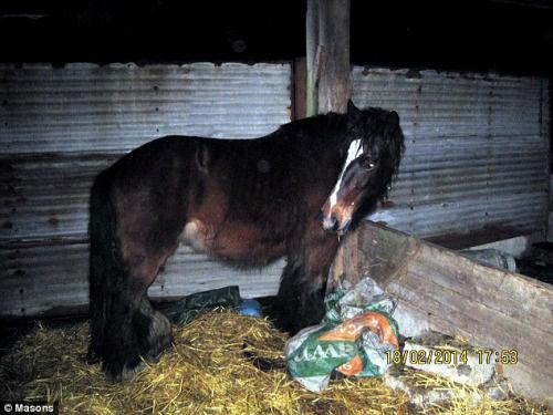 动物保护组织在当地发现了两匹遭受严重虐待的怀孕母