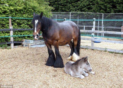 英国怀孕母马遭主人虐待 舔墙壁中水分求生(图)
