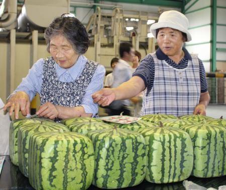 日本方形西瓜开始发售 每只合人民币500元(图