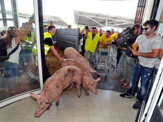 活猪进超市