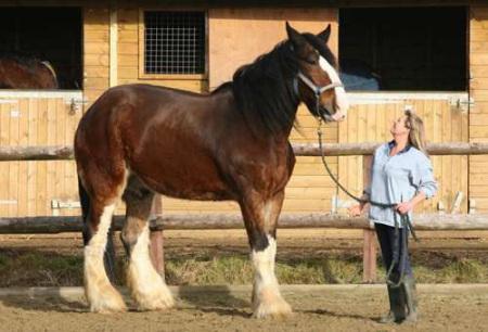 世界上最大的马