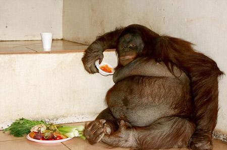 大猩猩也来减肥啦