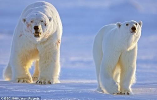 """北极熊为争夺交配权,击退10名""""情敌"""",负伤累累却最终""""抱得美人归""""的有"""