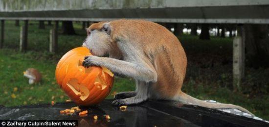 英动物园猴子戴万圣节面具吓同伴(组图)
