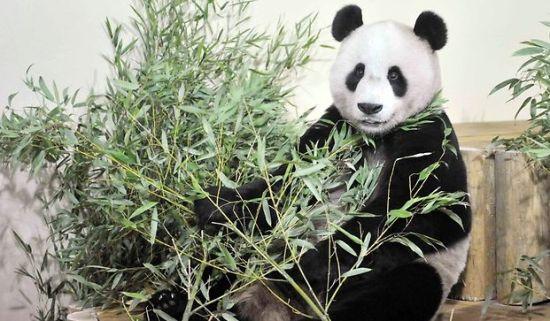 壁纸 大熊猫 动物 550_321