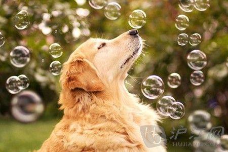 生活美图_狗狗的幸福生活有爱金毛犬的美图瞬间