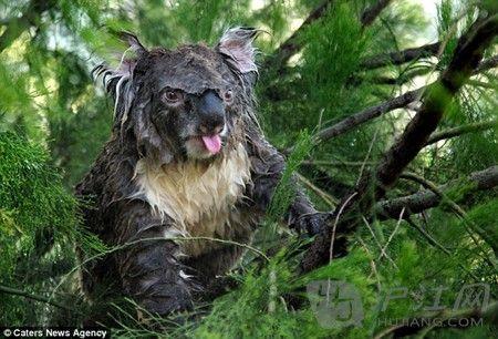 小考拉树上睡觉被洒水器淋醒 可爱�逄�萌翻网友