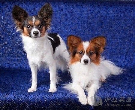 盘点:十种最适合家养的小型犬(双语)