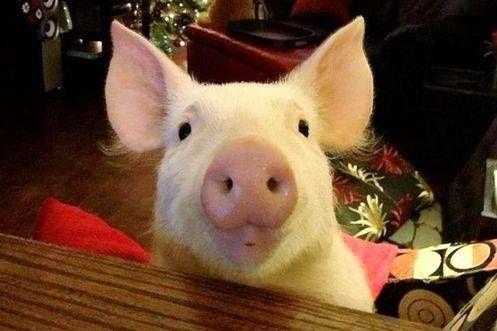 两只猪睡觉合照-最红小猪成长记 从迷你猪到庞然大物 双语