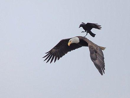 这个顺风车有意思:最大胆乌鸦骑雕飞行(双语)