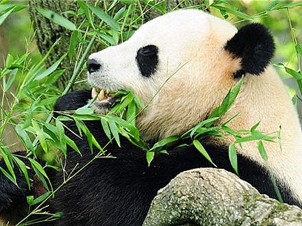双语揭秘:竹子并非大熊猫最理想食物?
