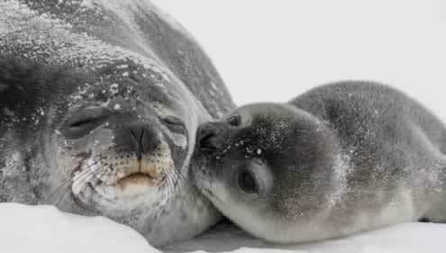 有什么比小海豹的亲吻更可爱的吗?