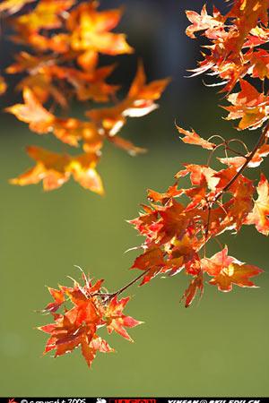 北京大学校园风景:秋天的枫叶(图)