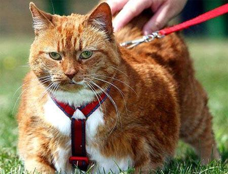 动物界的超级胖子大秀场:大猫(组图)