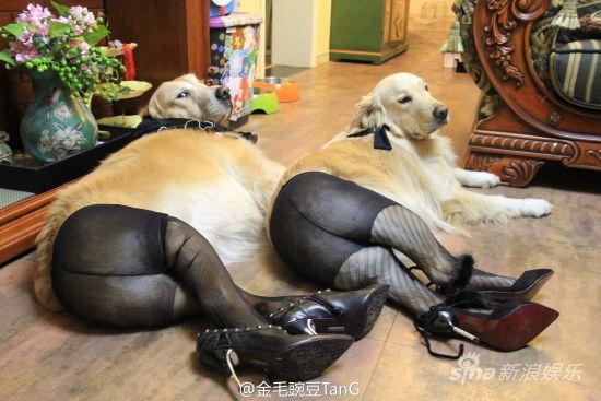 狗狗穿丝袜蹬高跟鞋展诱惑美腿