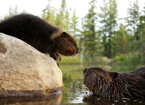 加拿大海狸简笔画