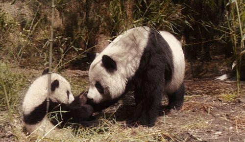 熊猫的毛毛,出生于一九九九年,二〇〇〇年时被卧龙研究中心的工作人员