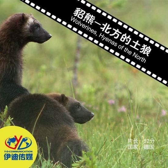 动物与自然电影周展映:《貂熊-北方的土狼》