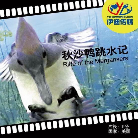 动物与自然电影周展映电影:《秋沙鸭跳水记》