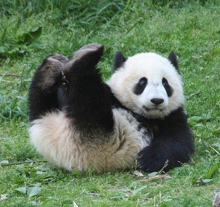 寻找爱心明星认养灾区大熊猫延续关爱(图)