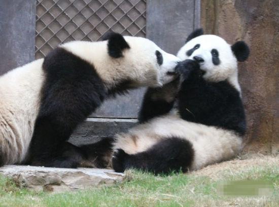 熊猫乐乐盈盈