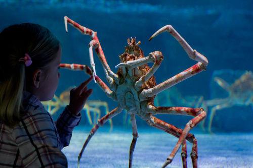 """蜘蛛蟹:""""杀人蟹""""也是极致美味"""