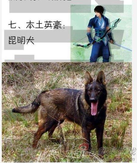 本土英豪:昆明犬