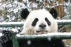 爆笑:金融危机下的大熊猫(组图)