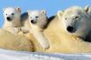 北极熊妈妈和宝宝(组图)