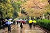 实拍:雨中的武大樱花