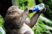峨眉泼猴抢可乐狂饮