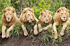 非洲狮群排排坐