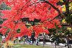 日本京都的娇艳枫叶