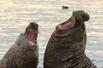 南极海象激烈争斗
