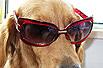 金毛犬的爆笑打扮