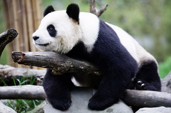 中国为什么要租借国宝大熊猫给日本?