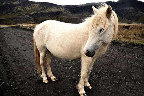 冰岛马在当地百姓生活中起着重要的作用。在旧时的挪威神话中,众神的坐骑是有着8条腿,一步千里的冰岛马。以至于现在冰岛的多数俱乐部会标都采用了这种马的形象。   在现代传奇故事中,冰岛马的身影也常会出现。海盗的争夺战,冰岛马是勇士战胜海盗不可缺少的元素,即使英雄死去也要冰岛马陪同下葬。   几个世纪以来,冰岛马都是当地的主要交通工具及农用家畜,是人类从出生到死亡最好的奴仆。但从1904年,冰岛马被汽车取代,逐渐失去了用武之地。幸运的是,有些爱马者也在同一年建立了冰岛马协会,为保种工作做出了很大贡献。现在