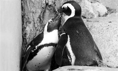 """动物园强拆""""同性恋""""企鹅 称旨在保护物种延续"""