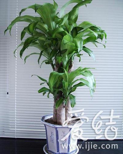 摆放大叶厚叶植物,可以生旺催财