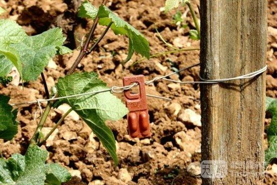 勃艮第罗曼尼-康帝(Romanée Conti)酒庄葡萄园里的用于扰乱害虫繁殖的信息素产品,比使用杀虫剂更生态环保
