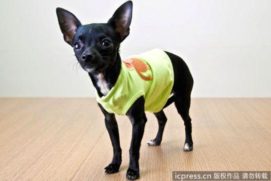 动物也时尚卖萌 高级定制服装席卷猫狗界(图3)