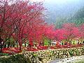 台湾:樱花雨下的浪漫