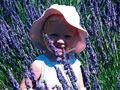 澳大利亚:看薰衣草盛开
