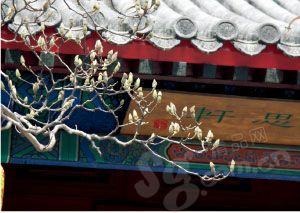 大觉寺中的古玉兰
