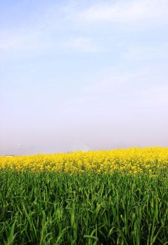 蓝色天空下的油菜花(资料图片)