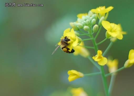 油菜花中采蜜的小蜜蜂
