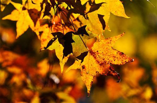 金黄色的树叶