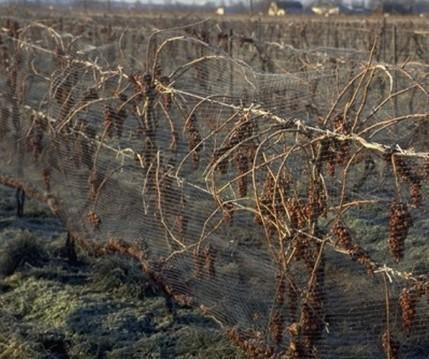 被防护网保护起来的葡萄,等待着霜冻来临