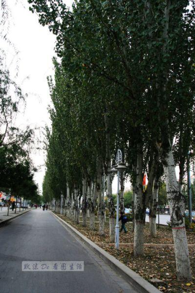 银川新城路两边高大的树木